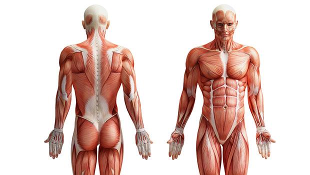 Η επίδραση της προπόνησης στην μορφολογία των μυών
